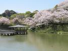 船越堤公園 桜